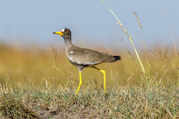 Wattled lapwing looking up to the sky