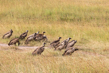 Flock with White backed vulture on the ground in masai Mara, Kenya