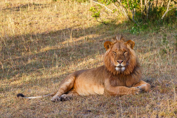 Resting male lion lying in the grass in the savannah
