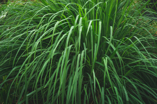 lemongrass in sufficient economy garden