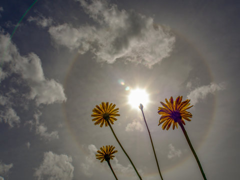 A solar halo brights in the morning sky behind some dandelion flowers. Captured at the Andean mountains of central Colombia.