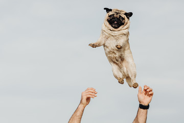 Pug dog being thrown in the air