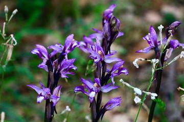 orchidées limodore