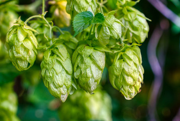 Hop cones, close-up. Agricultural plant used in the brewing industry