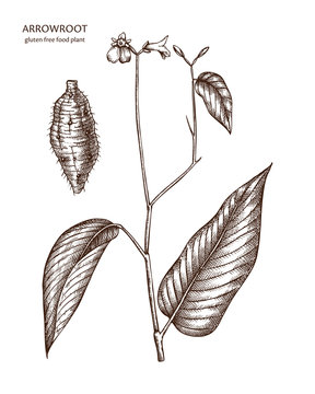 Hand drawn Arrowroot illustration. Gluten free food. Agricultural plant drawing with beans, leaves and flowers. Vegan and healthy. Great for packaging, label, icon. Lineart. Vector outlines.