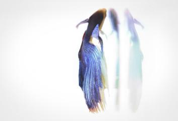 闘魚ベタの写真