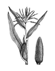 Vector Maize illustration. Hand drawn cereal sketch. Botanical drawing of sweet corn. Gluten free plant. Vegan food. Lineart.
