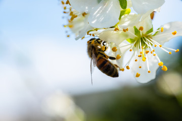 Close up detail shot of bee collecting pollen from fresh white blossoming flowers, spring, save the enviroment and endangered species concept, handheld 1080p Full HD shot