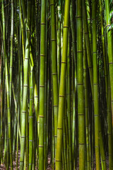 Poster de jardin Bambou Bamboo forest. No people