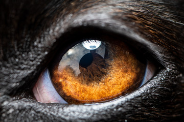 An extreme macro closeup of a greyhound dog eye