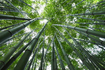 Bamboo forest. No people