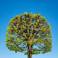 Shaped tree in Spring