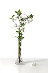 Fototapeta Gałązka kwitnącej wiśni w wazonie na białym tle. obraz