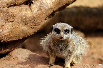 Meerkat at the zoo