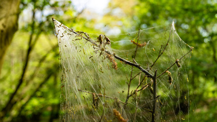 Cankerwork larva silk covering woodland trees, green caterpillars in webbing