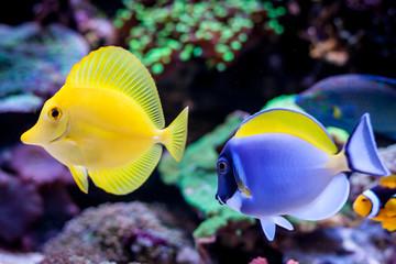 Paracanthurus hepatus, Blue tang (Acanthurus leucosternon) and Zebrasoma flavescens  in Home Coral reef aquarium. Selective focus