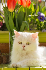 White persian cat on the balcony