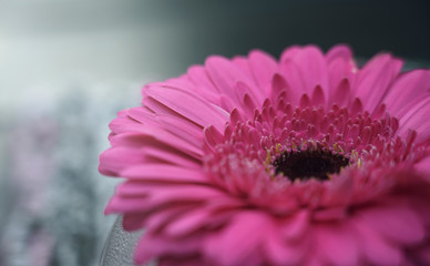 Gerbera daisy pink flower with blurry background HD ratio wallpaper