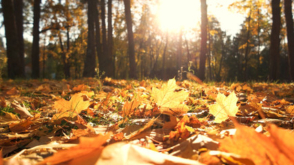 Beautiful yellow leaves in an autumn park. Autumn leaves covering the ground in the autumn forest. Golden autumn forest in sunlight.