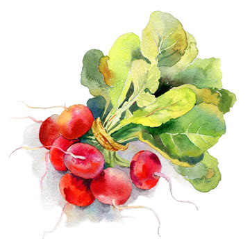 Watercolor painted illustration of vegetables. Fresh colorful radish