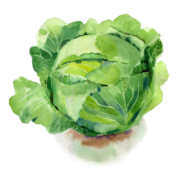 Watercolor painted illustration of vegetables. Fresh colorful cabbage