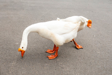 A group of ducks and geese walking across a paved road.
