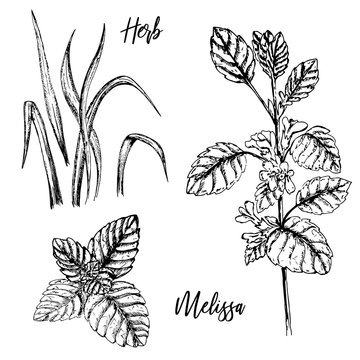Hand-drawn plant twigs. Sprig of melissa balm with buds.