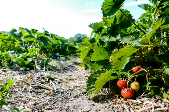 strawberry in the garden, in Sweden Scandinavia North Europe