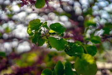 Tree in bloom, detail, northern Mediterranean, Croatia