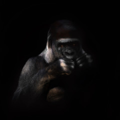 Wall Mural - Gorilla on the black background
