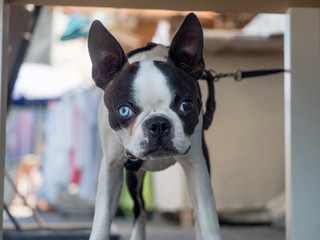 French bulldog with different eyes