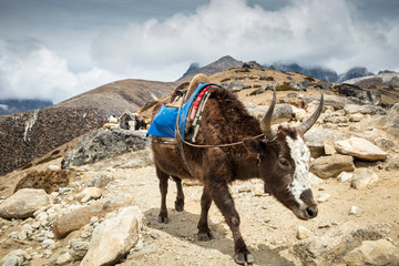 Pack Animals in Himalayas