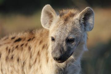 Foto op Aluminium Hyena Tüpfelhyäne / Spotted Hyaena / Crocuta crocuta.