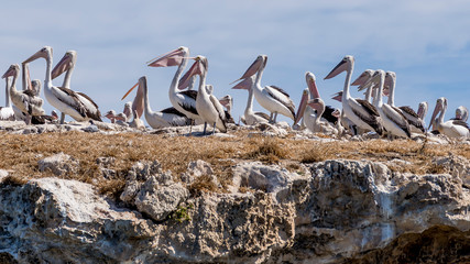 Great colony of pelicans on Penguin Island, Rockingham, Western Australia, Oceania