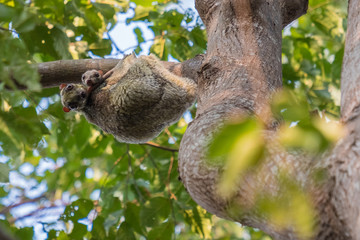Canvas Prints Flying Lemur (Galeopterus variegatus) clings to a tree and rests during the day (nocturnal animal) in Tarutao National Park Thailand.