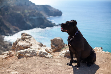 working dog breeds the Italian cane Corso to the sea on vacation