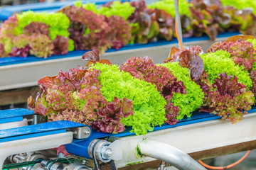 Conveyor belt with fresh lollo rosso lettuce