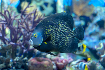 Wall Mural - French angelfish (Pomacanthus paru) a large ornamental fish from Atlantic Ocean