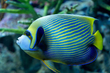 Wall Mural - Emperor Angelfish (Pomacanthus imperator) swimming in Coral tank