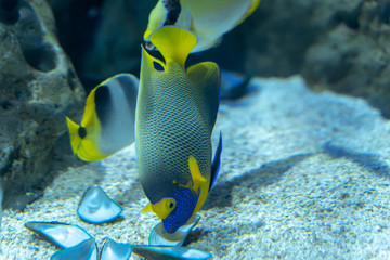 Wall Mural - Blueface Angelfish..(Pomacanthus xanthometopon) eating Asian green mussel