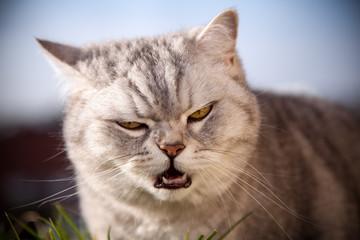 Die Britisch Kurzhaar Katze schaut böse
