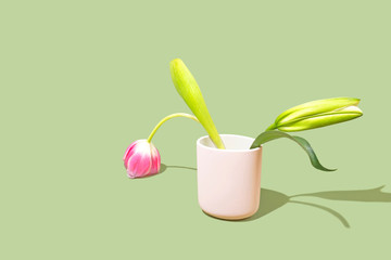 Tulip Flower Against Bright Background, Studio Shot