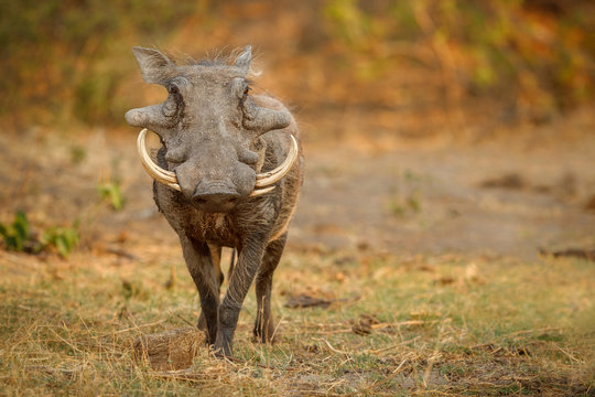Great african warthog. Huge wild boar male in front of the camera. Wildlife scene with dangerous animal. Great tusker in the nature habitat. Phacochoerus africanus.