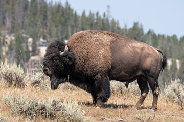 bison change the fur in Antelope island state park in Utah