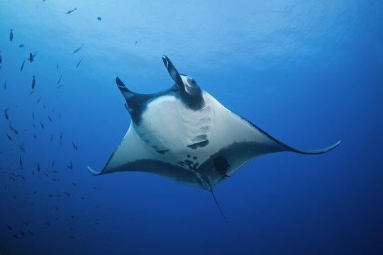 giant oceanic manta ray, manta birostris