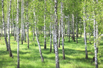 Photo sur Aluminium Bosquet de bouleaux Young birch with black and white birch bark in spring in birch grove against the background of other birches