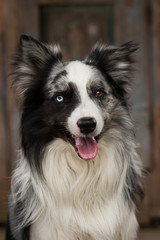 Border collie dog with wooden background