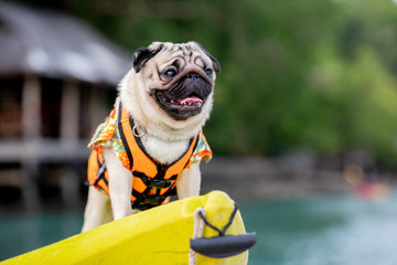 Happy dog pug breed wearing life jacket and standing on kayak feeling so happiness and fun vacations on the beach,Dog vacations Concept Wall mural
