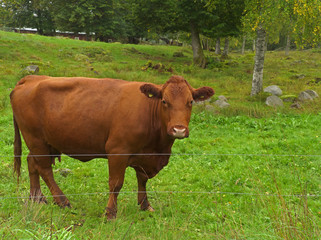 Kuh in Småland, Schweden