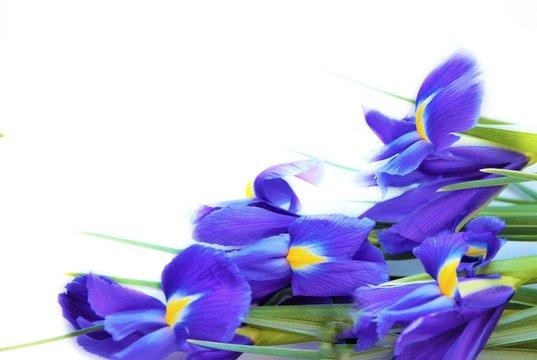 Purple flowers of irises